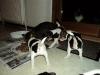 dansk-svensk-gaardhund-hvalpe-4-small