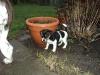 dansk-svensk-gaardhund-hvalpe-7-small